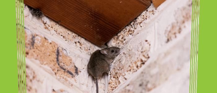 Rodent Control Pymble